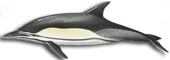 Common-dolphin